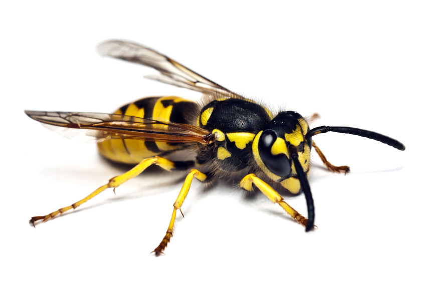 Paper Wasp Pest Services Stop Bugging Me Pest Control
