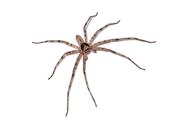 Hobo Spider Extermination Service – Stop Bugging Me Pest Control